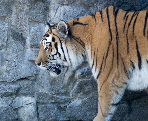Tygrys z profilu na tle kamiennej ściany