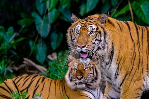 Tygrysi portret tygrysa bengalskiego w tajlandii