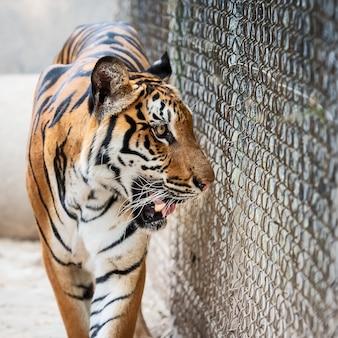 Tygrysia odprowadzenie strony siatkarstwa dziki niebezpieczny zwierzę w naturalnym siedlisku w tajlandia ,.
