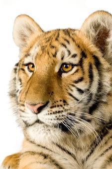 Tygrysiątko (5 miesięcy) z przodu na białym na białym tle