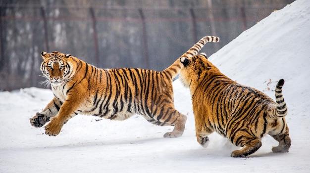 Tygrysy syberyjskie stoją na pokrytym śniegiem wzgórzu