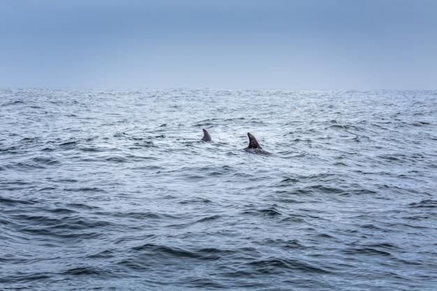 Tylko dwie płetwy. dwa delfiny na oceanie pacyfiku
