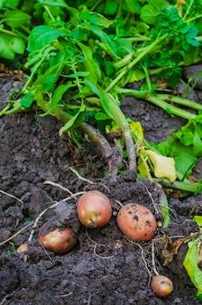 Tylko że wykopane ziemniaki z ziemi