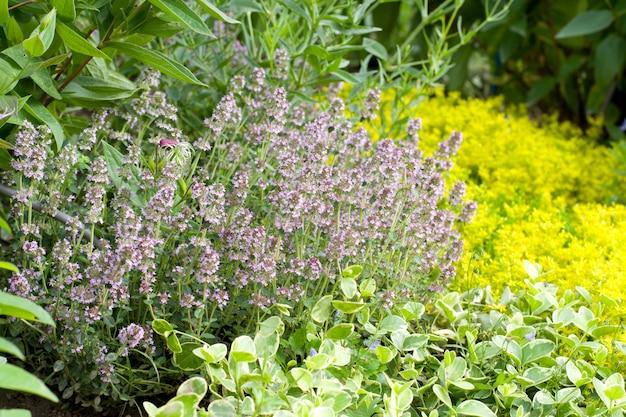 Tymianek w ogrodzie