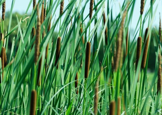Typha anginatifolia wieloletnie gatunki roślin zielnych i błotnych z rodzaju rogoz