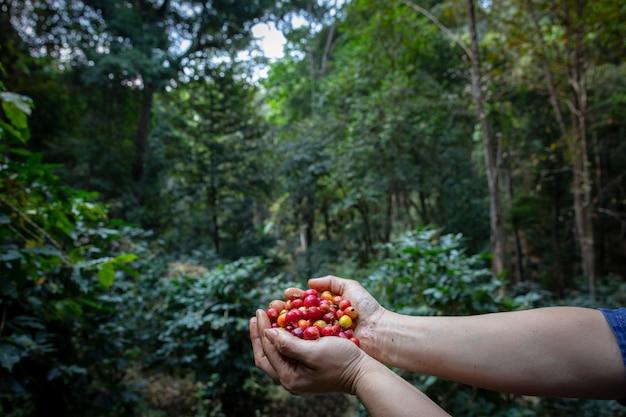 Typica czerwone jagody rodzaj ziaren kawy na rękach rolnika, sadząc mieszane substancje z lasami i źródłem organicznej kawy, rolnictwo rolnictwo na północy tajlandii.