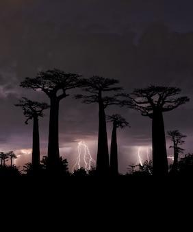 Typowe drzewa madagaskaru z nocnym niebem w tle