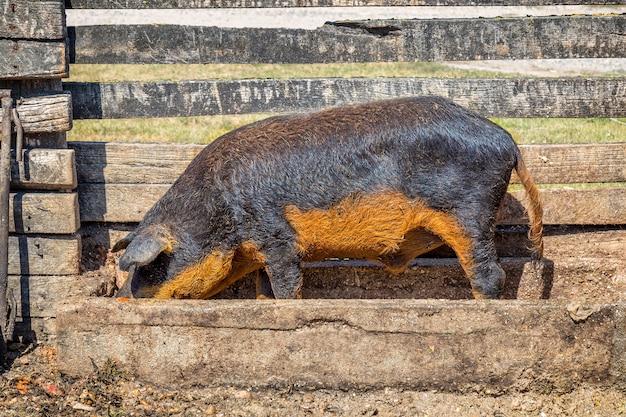 Typowy i wyjątkowy węgierski gatunek świni
