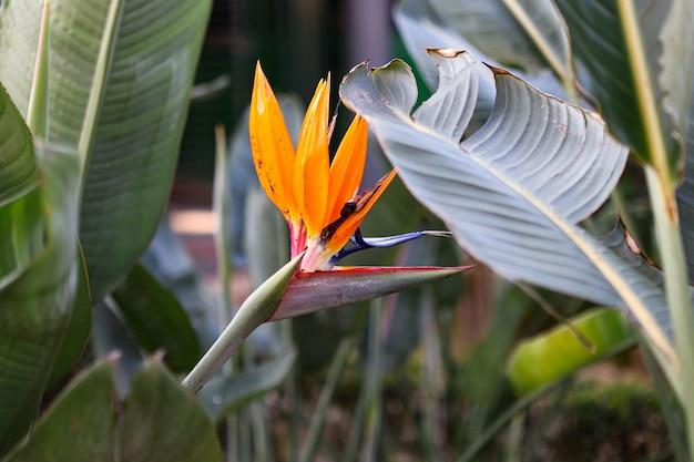Typowy kwiat strelitzia reginae z azorów i madery kwiat zbliżenie ptak rajski kwiat
