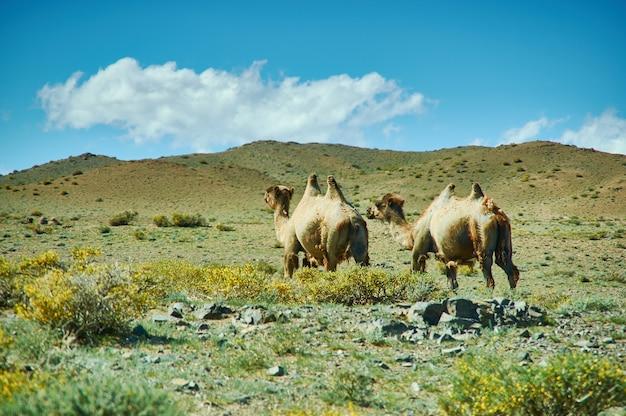 Typowy mongolski krajobraz dzikich wielbłądów, prowincja uvs w mongolii