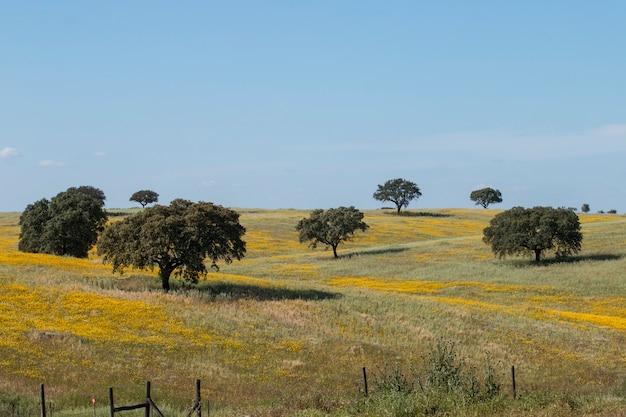 Typowy widok wiosna krajobraz w alentejo z żółtymi stokrotkami i holm dębowymi drzewami.