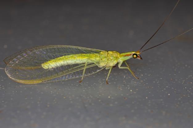 Typowy zielony skrzydłowy z rodzaju ceraeochrysa