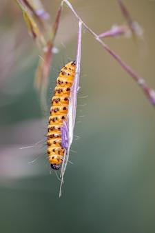 Tyria jacobaeae. caterpillar sfotografowany w ich naturalnym środowisku.