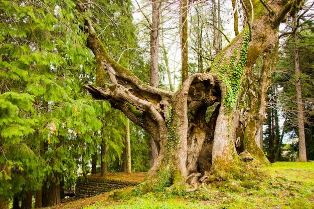 Tysiącletnia lipa, stare i duże drzewo
