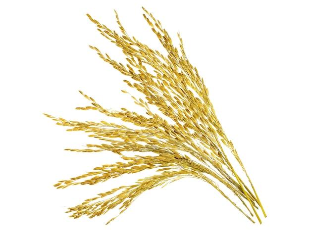 Ucho lepkiego ryżu niełuskanego na białym tle