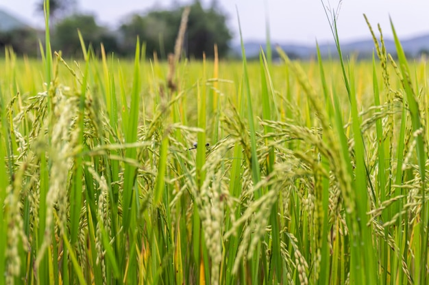 Ucho ryżu lub pola ryżowego