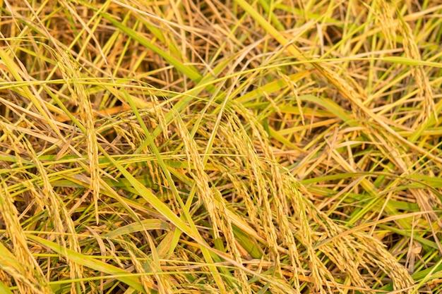 Ucho ryżu uchwycone przez rolnika w ciepłym świetle wieczoru.