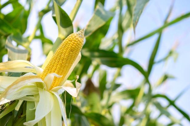 Ucho żółtej kukurydzy z ziarnami wciąż przyczepionymi do kolby na łodydze.
