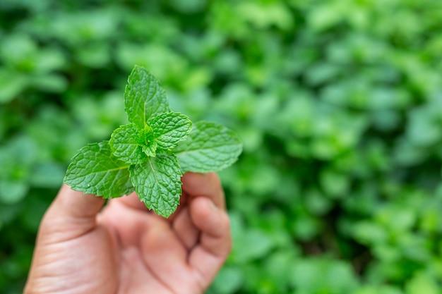Uchwyt z zielonego liścia mięty.