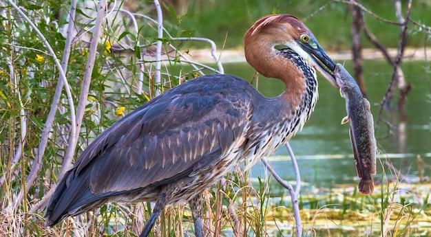 Udane wędkowanie portret zadowolonego ptaka czapla goliat z rybami jezioro baringo kenia
