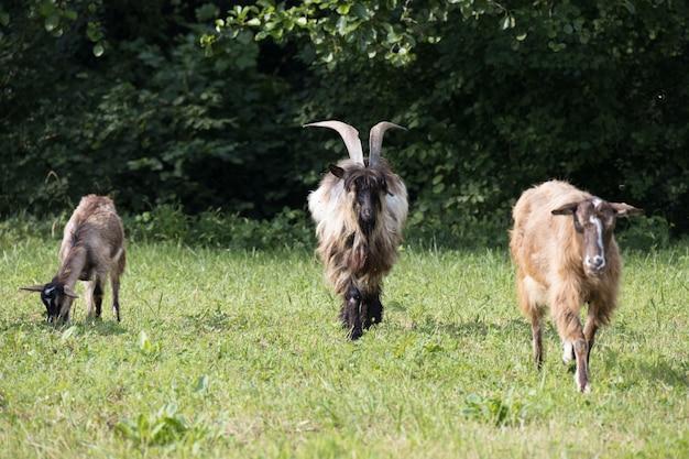 Udomowione kozy wędrujące po pastwisku w torre de' roveri we włoszech