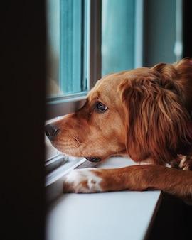 Udomowiony zdenerwowany golden retriever wygląda przez okno i tęskni za swoim właścicielem