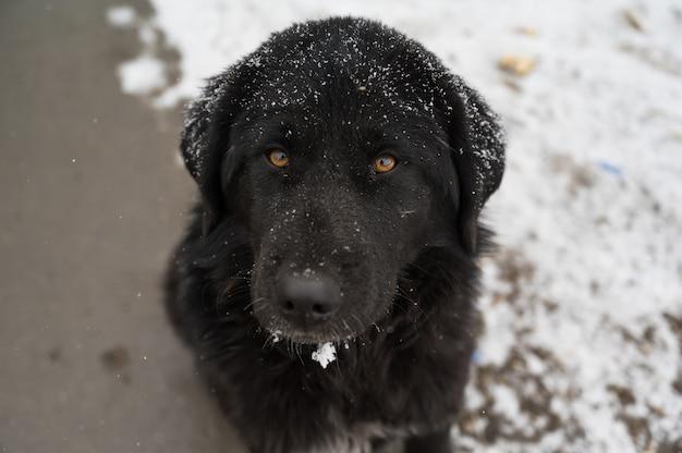 Ujęcie czarnego psa hovawarta zimą