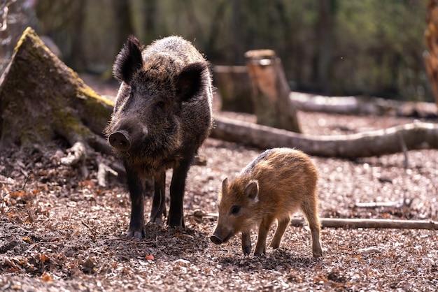 Ujęcie dwóch dzikich świń w lesie