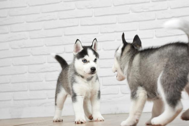 Ujęcie dwóch ślicznych szczeniąt siberian husky zabawy w domu, grając, bieganie wokół zwierząt, zwierzęta, słodycze koncepcji.