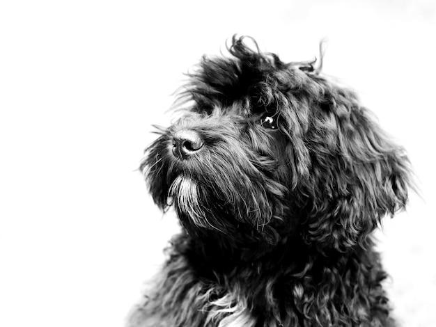 Ujęcie słodkiego czarnego psa typu schnoodle na białym tle