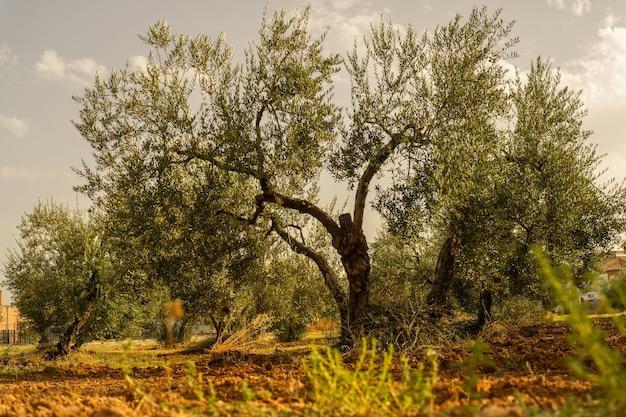 Ujęcie starego dużego drzewa z mniejszymi drzewami