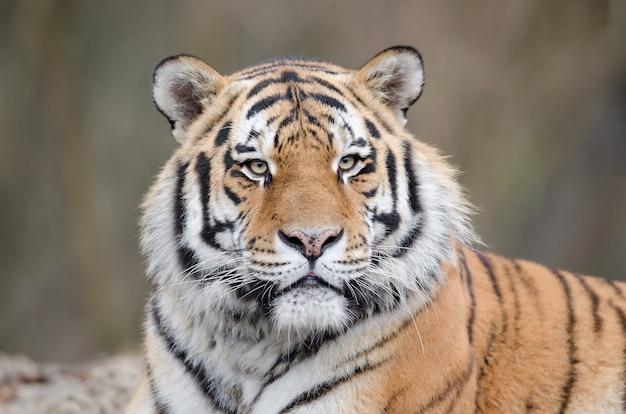 Ujęcie tygrysa leżącego na ziemi podczas oglądania swojego terytorium