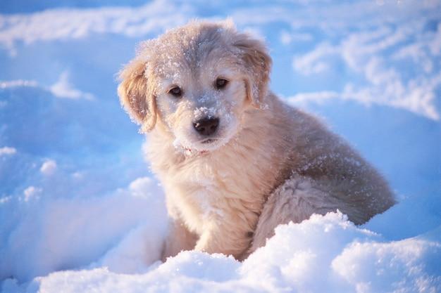 Ujęcie uroczego białego szczeniaka golden retriever siedzącego na śniegu