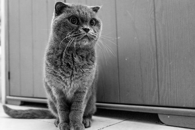 Ujęcie w skali szarości ciekawego brytyjskiego kota krótkowłosego siedzącego na płytkach podłogowych