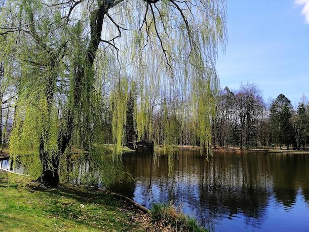 Ujęcie wysokiego pół zielonego drzewa obok stawu w jeleniej górze, polska.