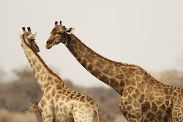Ujęcie ze środka dwóch żyraf oddziałujących ze sobą