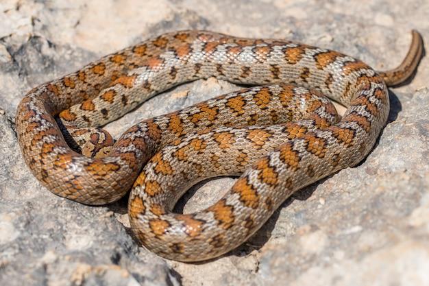 Ujęcie zwiniętego dorosłego węża lamparta lub węża szczura europejskiego, zamenis situla na malcie