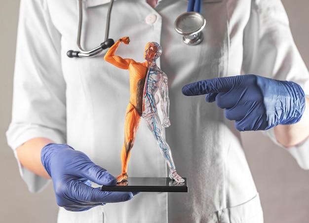 Układ krążenia ludzkiego ciała na modelu d anatomii tętnic i żył w rękach lekarza doctor
