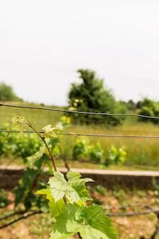 Układ z winoroślą i drutem