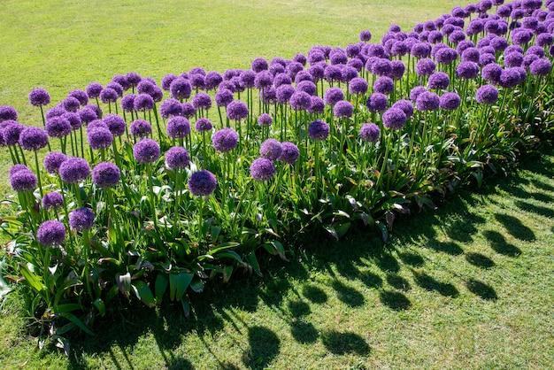 Ukośny kwietnik obsadzony gigantycznymi kwiatami czosnku czosnkowego, tworzący kolorową fioletową wystawę wiosną lub latem w formalnym ogrodzie z zielonymi trawnikami