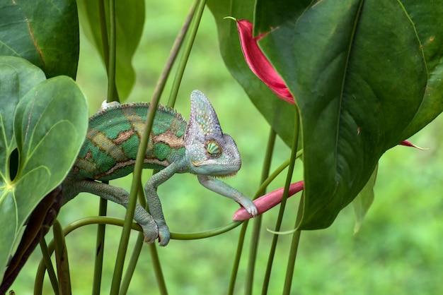 Ukryty kameleon wiszący na gałęzi