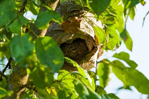 Ula os zrobiona przez osy na drzewie w ogrodzie, zbliżenie na siedlisko dzikich owadów os