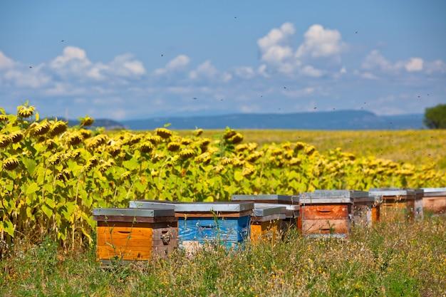 Ule na słonecznikowym polu w prowansji we francji