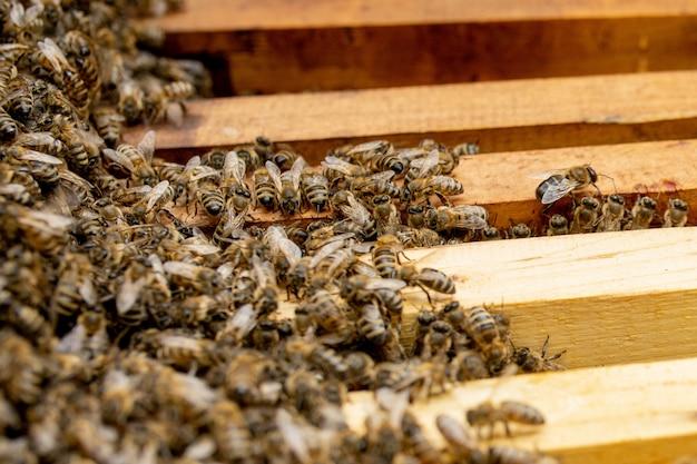 Ule pszczół pod opieką pszczół o strukturze plastra miodu i pszczół miodnych. pszczelarz otworzył ul, aby ustawić pustą ramę z woskiem do zbioru miodu.