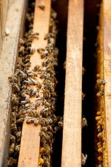 Ule w opiece nad pszczołami o strukturze plastra miodu i pszczołami miodnymi. pszczelarz otworzył ul, aby ustawić pustą ramkę z woskiem do zbioru miodu.
