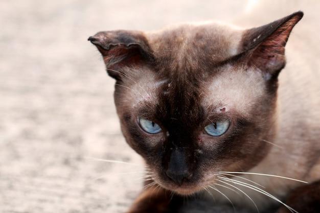 Uliczny kota zakończenie up, tajlandzki kot