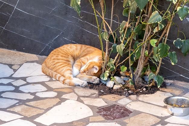 Uliczny rudy pręgowany kot śpi zwinięty w kłębek na wyłożonej płytkami podłodze przy drzewie przy ścianie