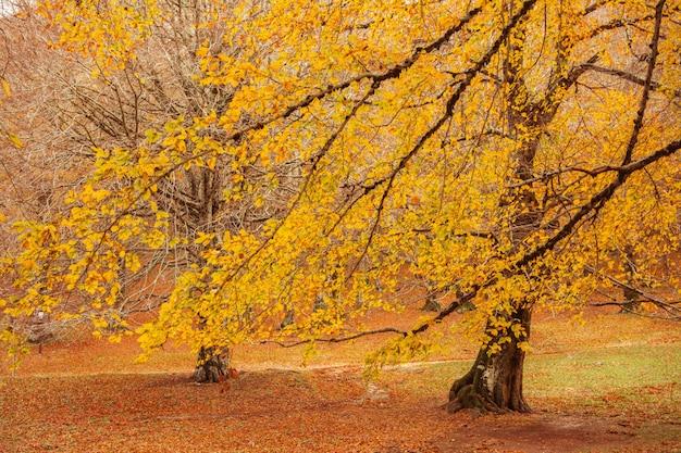 Ulistnienie w monti simbruini parku narodowym, lazio, włochy. jesienne kolory w buku. buk z żółtymi liśćmi.