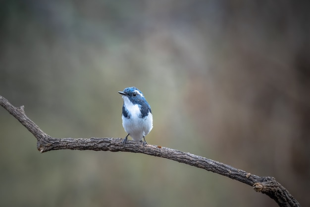 Ultramarine flycatcher, ficedula superciliaris