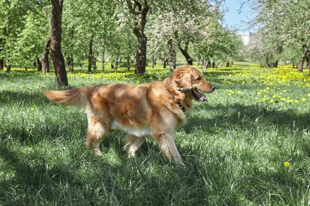 Ulubione zwierzę. seter bawi się kijem na trawie w letnim parku.